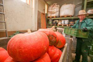 Foto: Kiste mit geernteten Kürbissen