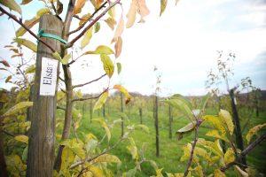 Foto: Elstar Apfelbaum auf der Obstplantage